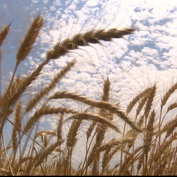 Wheat_192815