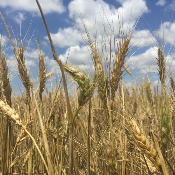 Garden City wheat field_192891