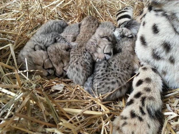 Tanganyika Wildlife Park welcomes Cheetah cubs