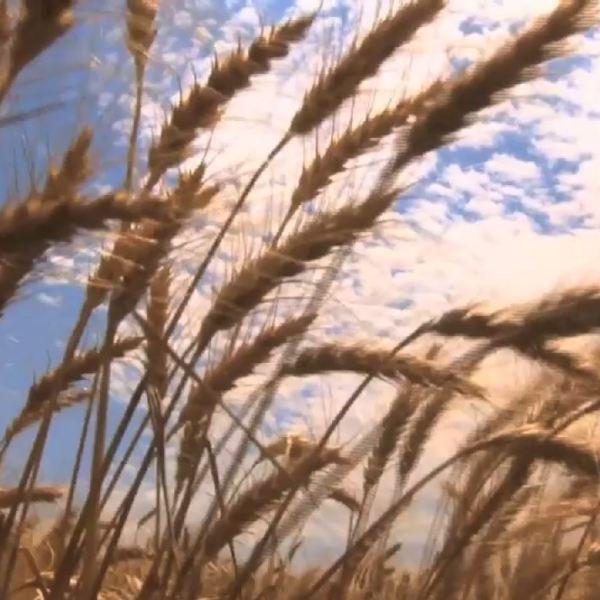 wheat_329308