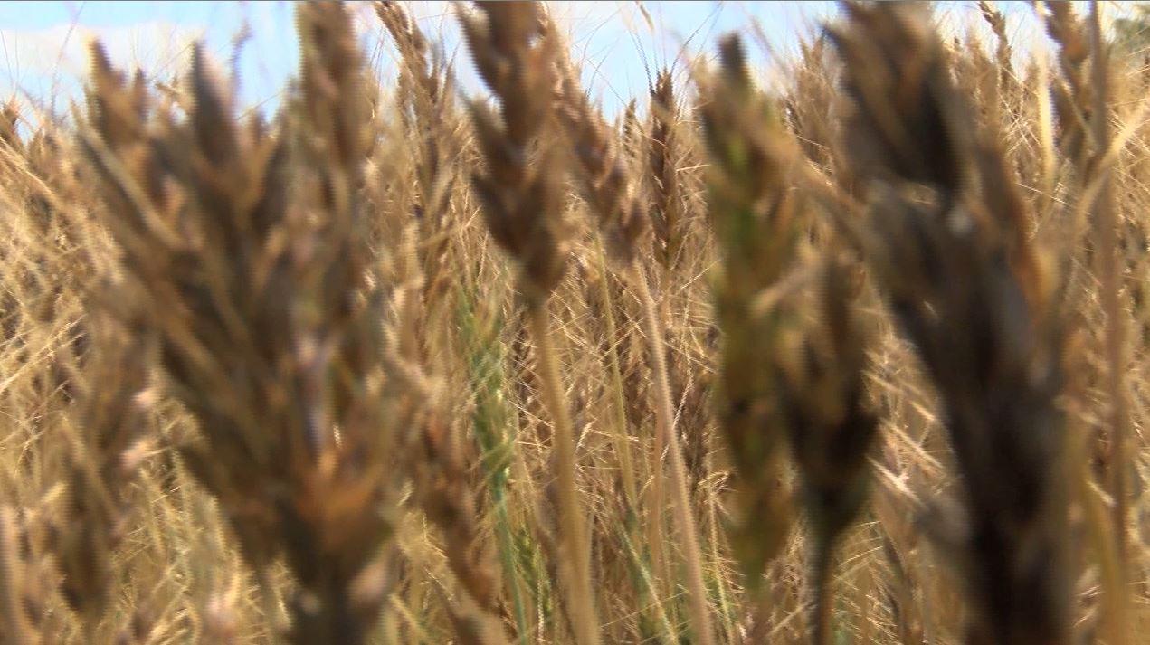 wheat_322692