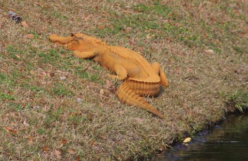 Orange Alligator_344214
