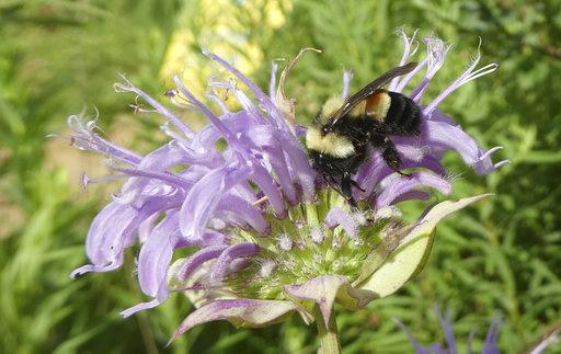 Endangered Bumblebee_362305