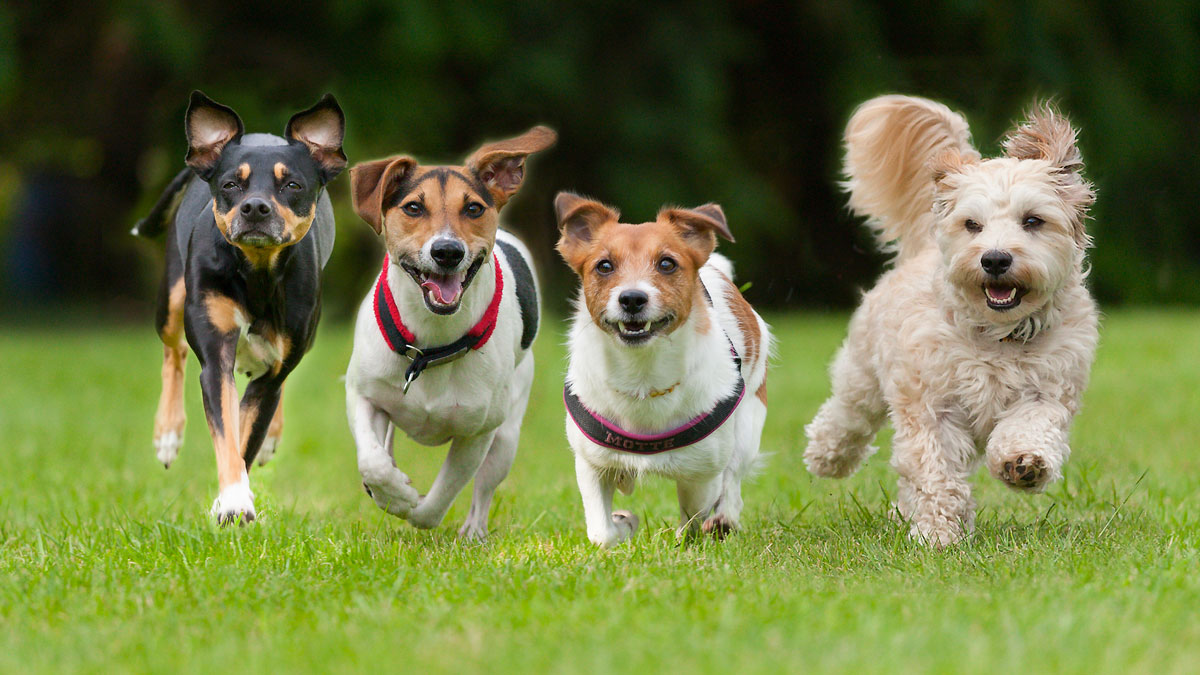4 Little dogs running in a row._408438