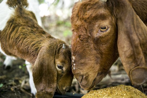 WMU hires goats to clear landscape on campus_415696