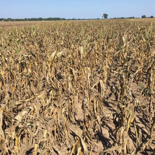 corn crop, kansas_439450