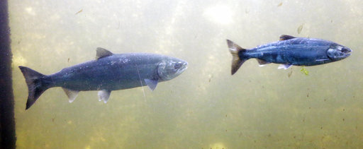 Ocean Blob Salmon_447563