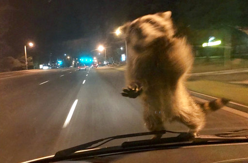 APTOPIX Hitchhiking Raccoon_450383