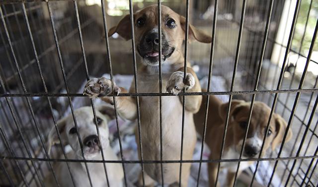 APTOPIX Puerto Rico Hurricane Abandoned Animals_518415