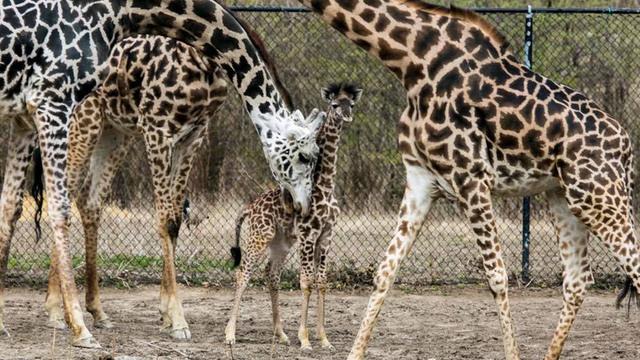 kc_zoo_calf_giraffe_1523544905003_39774311_ver1.0_640_360_1523549511278.jpg
