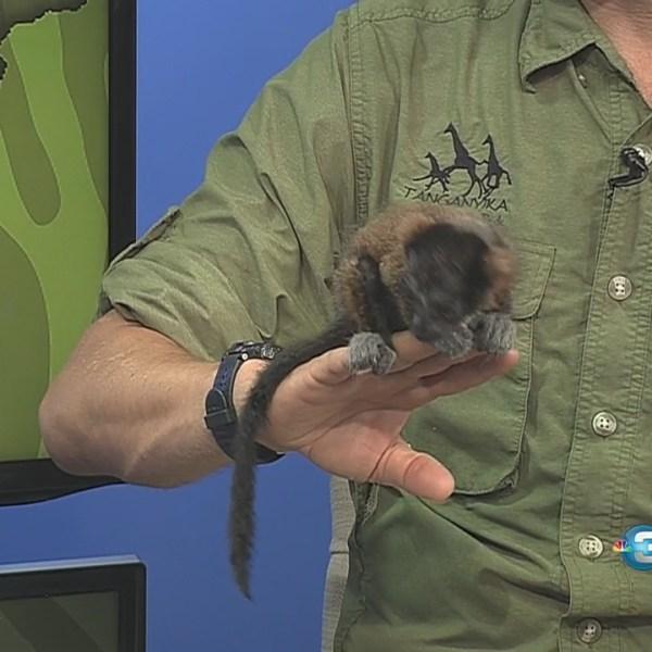 Interview: Red fluffed lemur