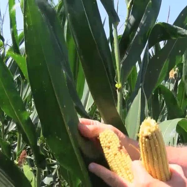 Kansas Corn Crop
