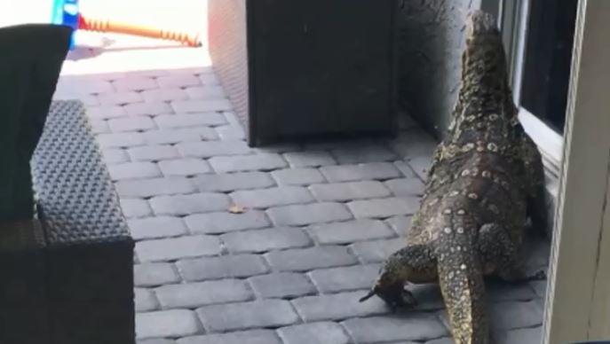 massive lizard fla_1535678840035.JPG.jpg