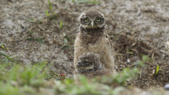 Burrowing Owls_1534610103809