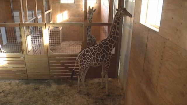April the Giraffe_350427