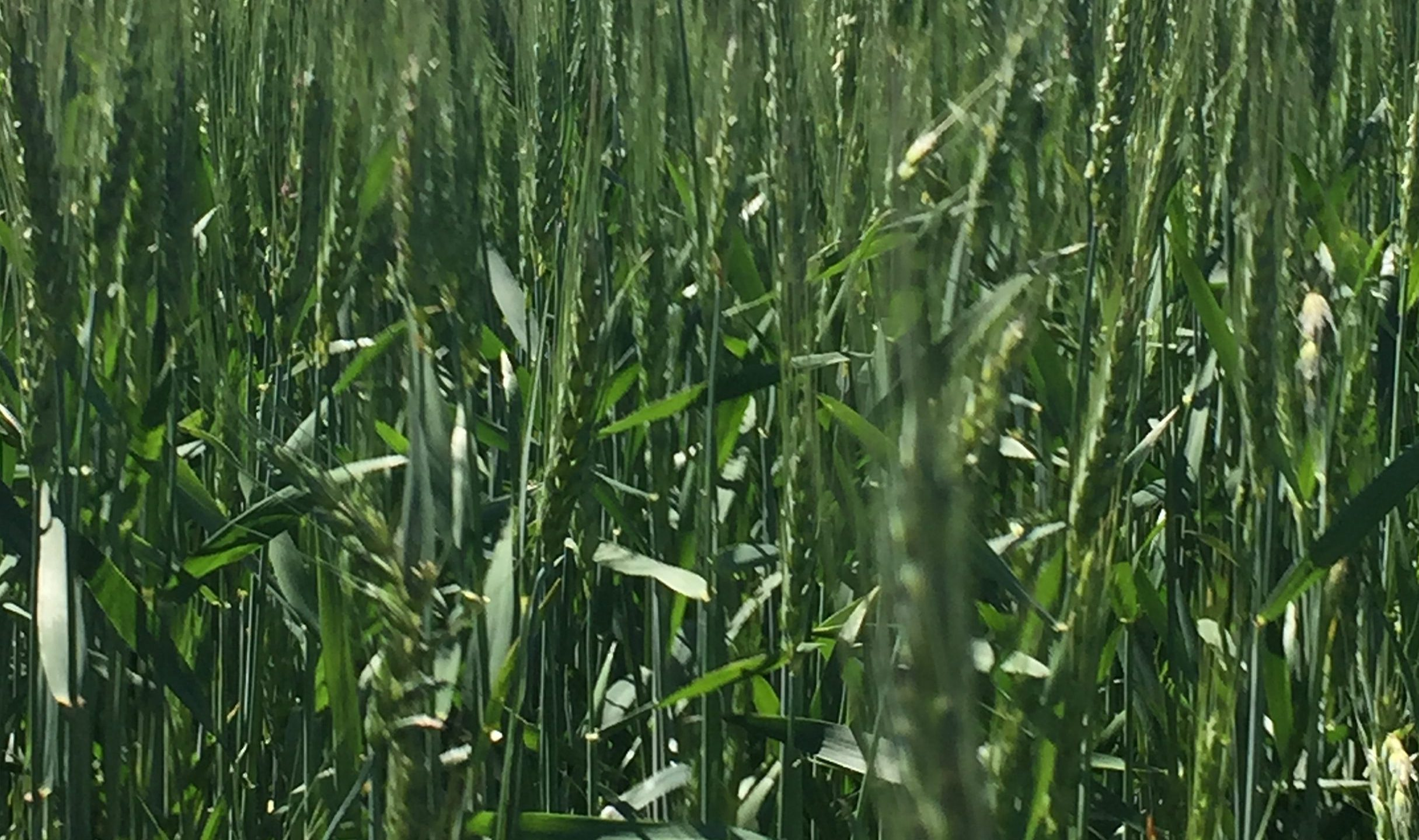 Wheat Crop_275557