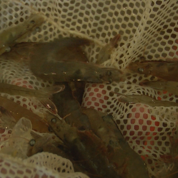 OXFORD SHRIMP FARM EDIT PKG_frame_3810_1558640408185.jpg.jpg