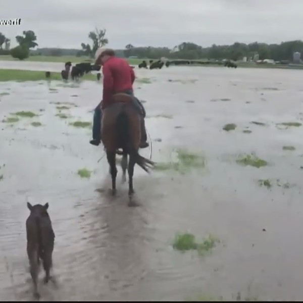Flooding_impacts_livestock_0_20190604223435